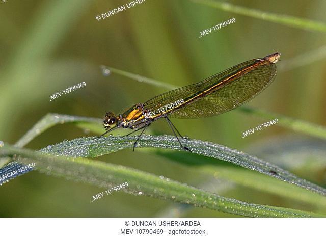 Banded Demoiselle Damselfly - female resting on grass (Calopteryx splendens)