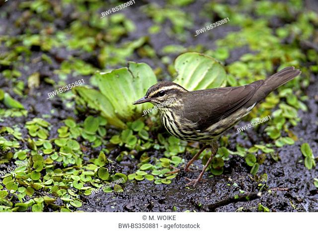 northern water-thrush (Seiurus noveboracensis), looking for food at water cabbage , USA, Florida