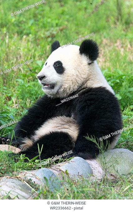 Two year old young Giant Panda (Ailuropoda melanoleuca), Chengdu, Sichuan, China, Asia
