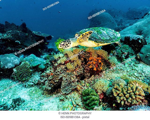 Sea turtle, Tulamben, Bali, Indonesia
