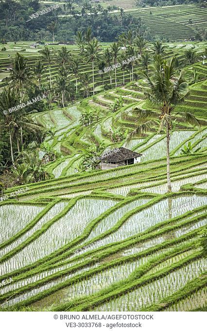 Jatiluwih Rice Terraces, Bali UNESCO World Heritages (Tabanan Regency, Bali, Indonesia)