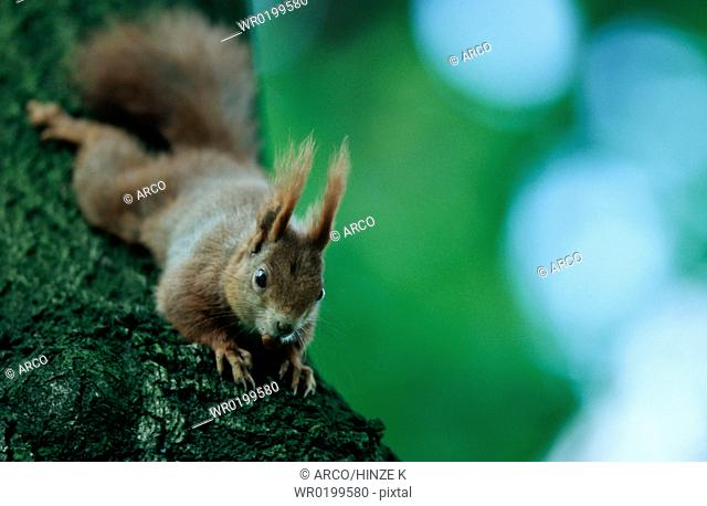 Red, Squirrel, Germany, Sciurus, vulgaris
