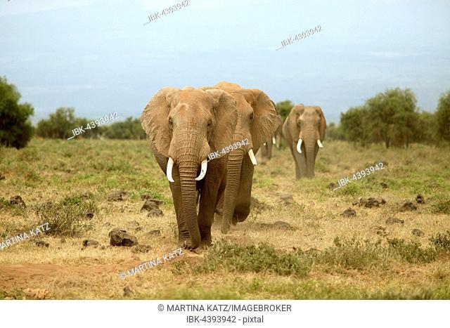 African elephants (Loxodonta africana), Amboseli National Park, Kajiado County, Kenya