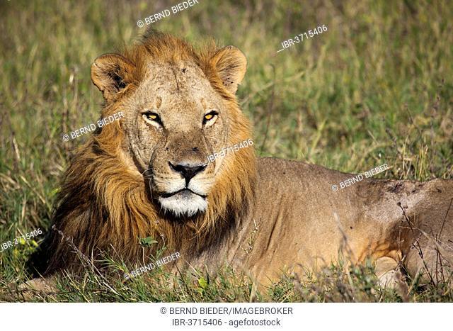 Lion (Panthera leo) lying in the grass, Moremi Game Reserve, Botswana