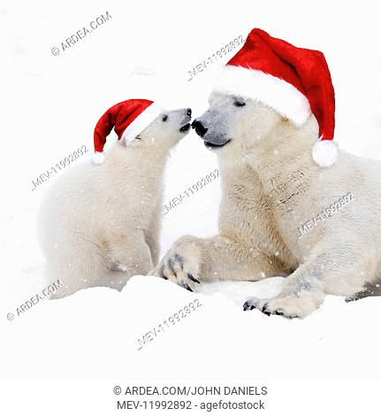 Polar Bears in snow wearing Christmas hats, adult playing with its 4 month old cub