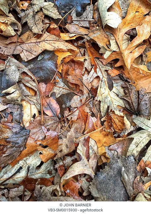 An array of dead white oak, pin oak, and sugar maple leaves, decaying in early winter