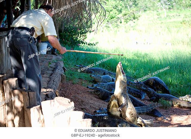 Creation of Alligator (Caiman crocodilus yacare), Aquidauana, Mato Grosso do Sul, Brazil
