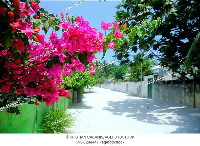 Streetscene in Dharavandhoo with Bougainville blossoming, Baa Atoll, Maldives, Indian Ocean, South Asia