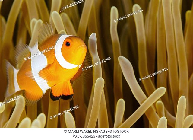 False clown anemonefish, Amphiprion ocellaris, Lembeh Strait, North Sulawesi, Indonesia, Pacific