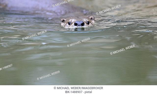 European otter (Lutra lutra) swimming in lake