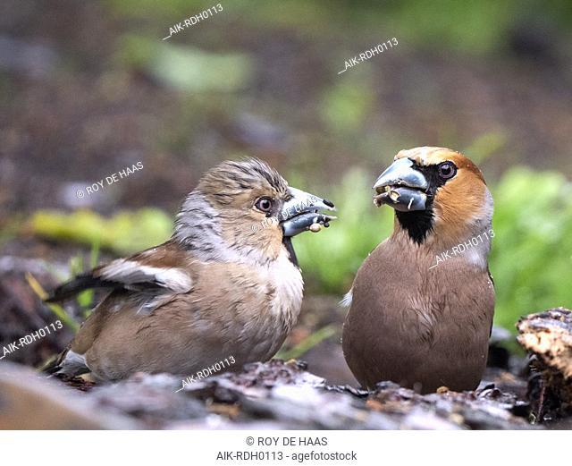 Hawfinch feeding young