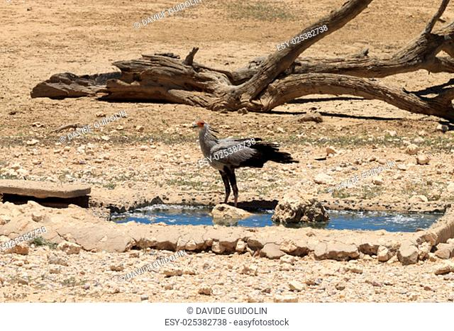 A secretary bird at waterhole, Kgalagadi National Park, South Africa