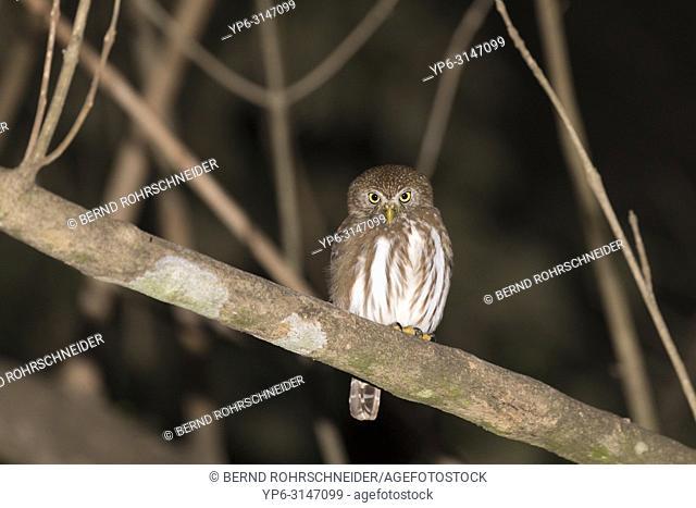 Ferruginous pygmy owl (Glaucidium brasilianum) perched on tree at night, Pantanal, Mato Grosso, Brazil