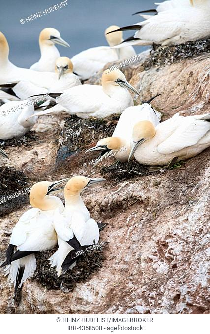 Northern Gannet (Morus bassanus), colony on rock, Heligoland, Schleswig-Holstein, Germany