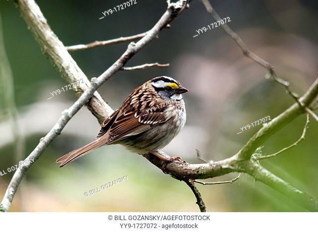 White-throated Sparrow - Smuggler's Cove Provincial Park - Halfmoon Bay - Sunshine Coast, British Columbia, Canada