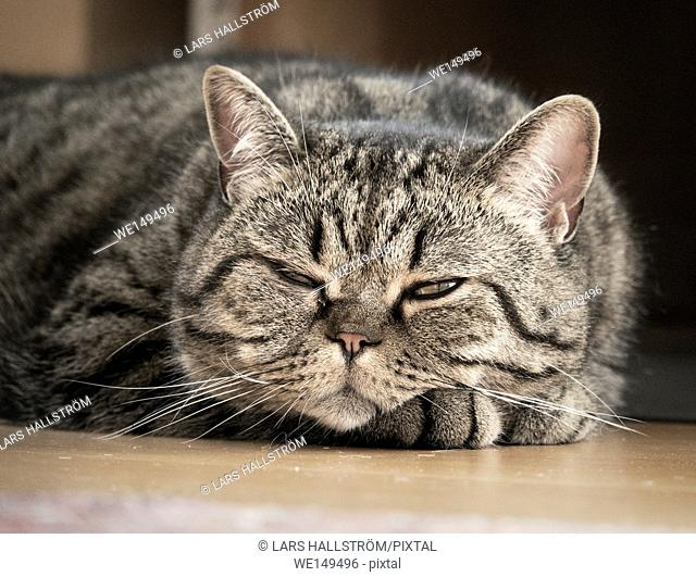 Tired cat relaxing on floor. Close up portrait of resting pet. Relaxed and carefree expression