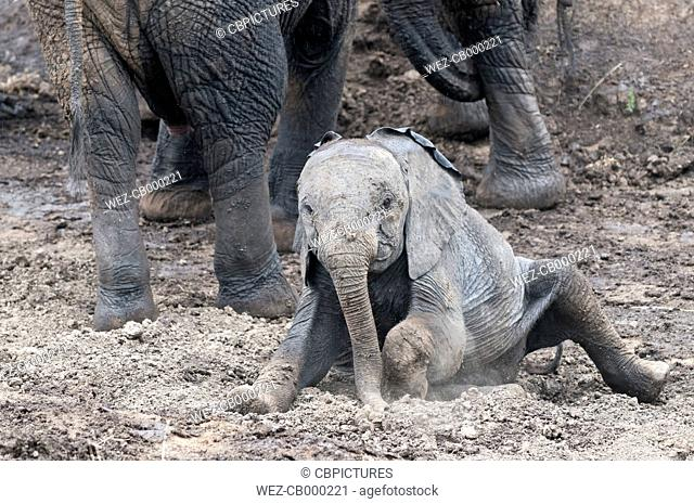 Africa, Kenya, Maasai Mara National Reserve, African Bush Elephants, Loxodonta africana, young taking a mud bath