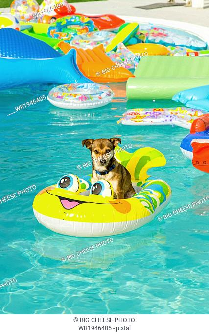 Dog floats in a pool ring in a pool