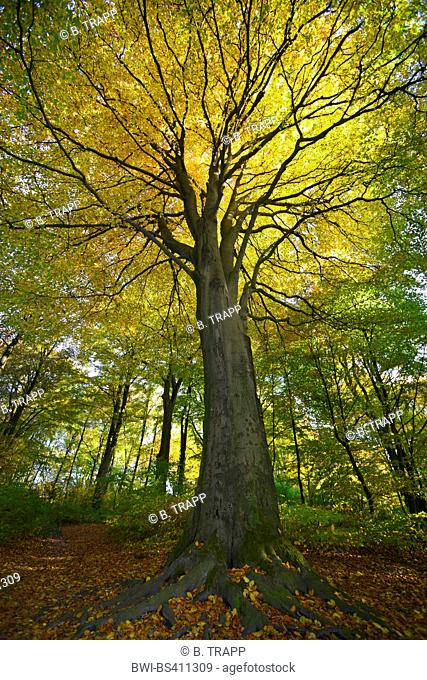 common beech (Fagus sylvatica), old pasture tree in a forest, Germany, Bergisches Land, Kaiserhoehe