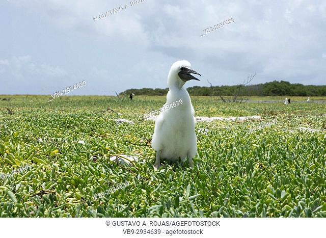 Sula leucogaster, yelow-footed booby, Sula sula, white phase, Los Roques National Park