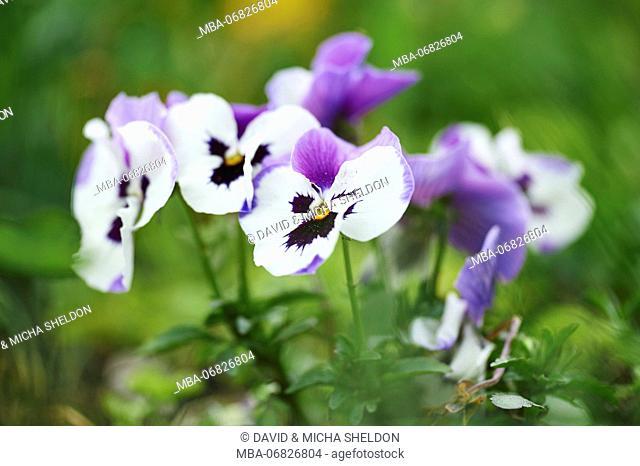 garden pansies, viola wittrockiana, blossom, close-up