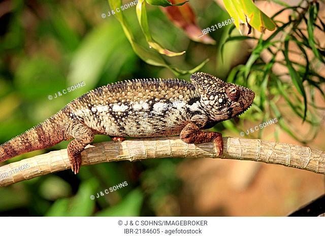 Oustalet's or Malagasy Giant Chameleon (Furcifer oustaleti), male, foraging, Madagascar, Africa