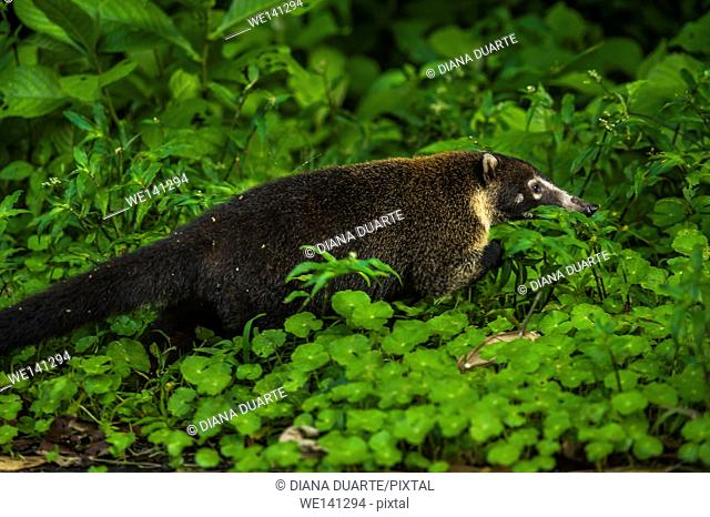"""""""""""White-nosed coati"""" (Nasua narica), Some of these animals walk on the toes of the front paws and soles of the back paws"