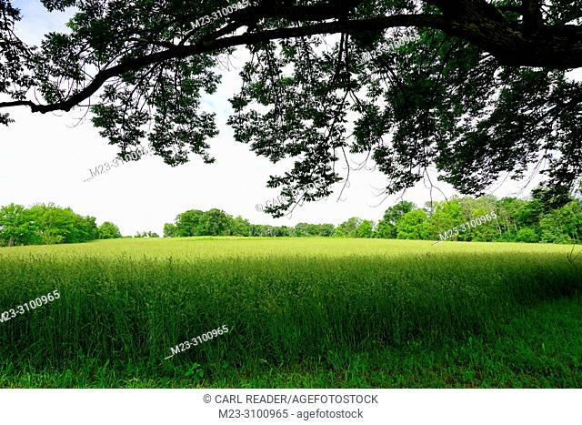 Grass fills a field in summer, Pennsylvania, USA