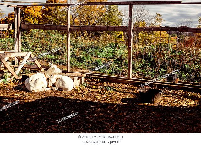 Two goats lying together on farm