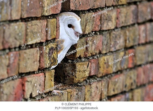 Barn owl Tyto alba looking through hole in wall of barn, England, UK