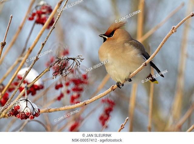 Bohemian Waxwing (Bombycilla garrulus) perched on a snow-covered Guelder Rose (Viburnum opulus), Zeewolde, Flevoland, The Netherlands