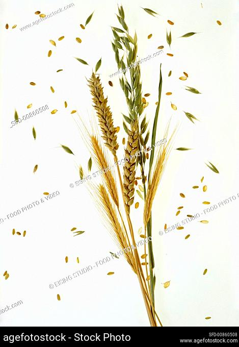 An ear of oats, wheat and barley