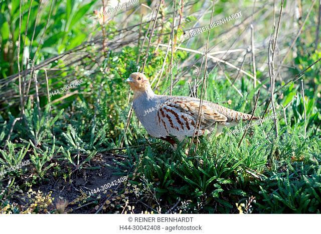 Partridge, Perdix perdix, chickens, gallinaceous bird, wild chickens, bird, Galliformes, partridges, pheasant-like, bird, birds, gallinaceous birds, partridges