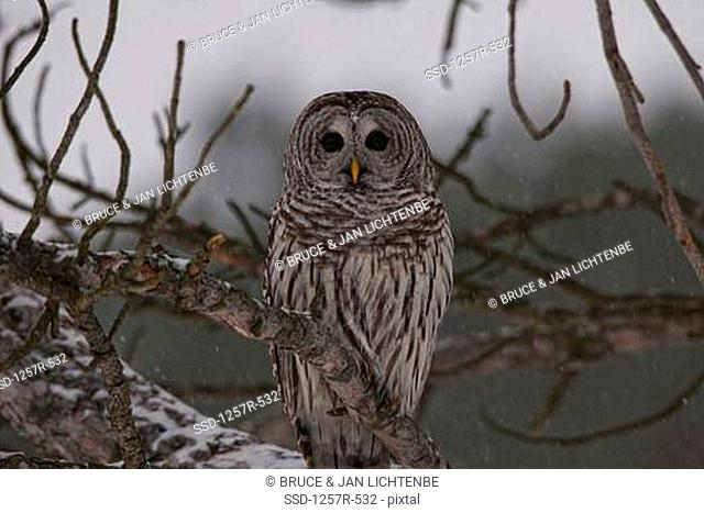 Canada, Ontario, Barred Owl Strix varia on branch