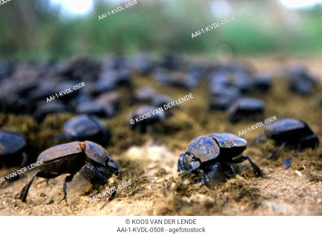 Dung beetles, South Africa