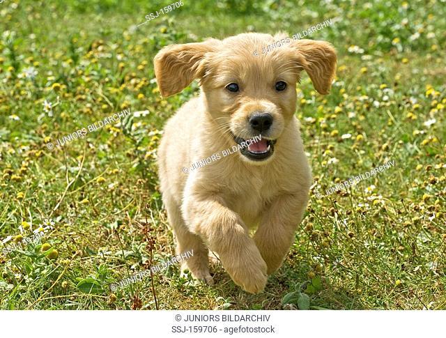 Golden Retriever dog - puppy running on meadow