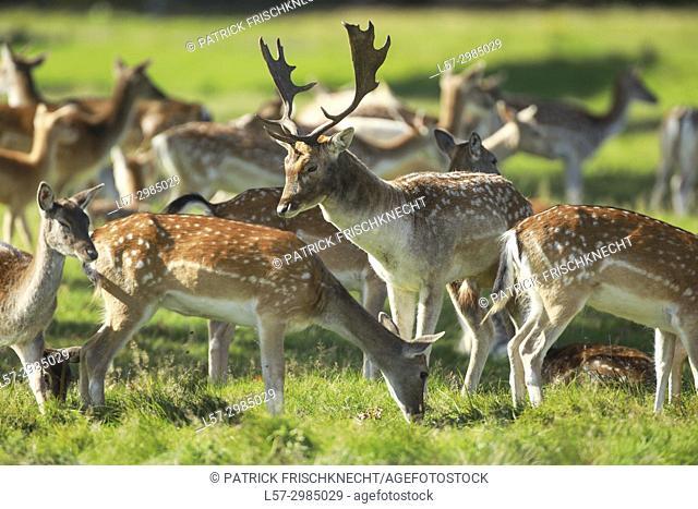 Fallow deer, Dama dama, Richmond Park, England