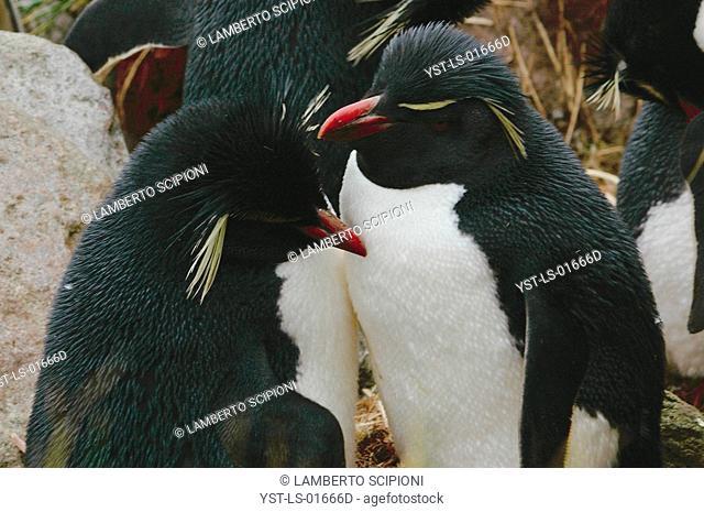 Bird, Penguin, West point Island, Falkland, Port Stanley
