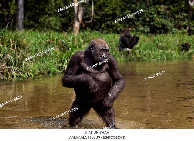 Western lowland gorilla juvenile female 'Bokata' aged 6 years walking bi-pedally to cross a river (Gorilla gorilla gorilla)