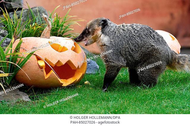 Coati Suelita looking for treats in a Halloween pumpkin in her enclosure at the zoo in Hanover, Germany, 24 October 2016
