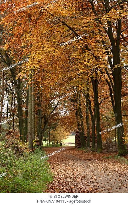 Beech Fagus sylvatica - Bergherbos, 's-Heerenberg, Achterhoek, Guelders, The Netherlands, Holland, Europe