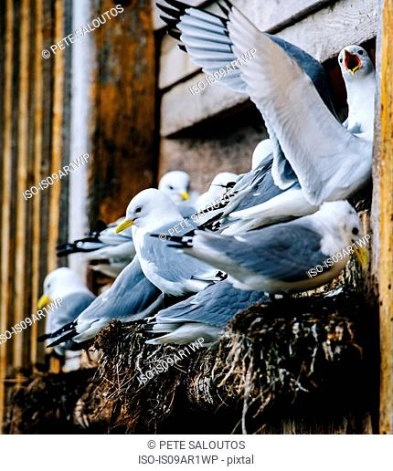 Close up of a group of gulls nesting on ledge of building, Reine, Lofoten, Norway