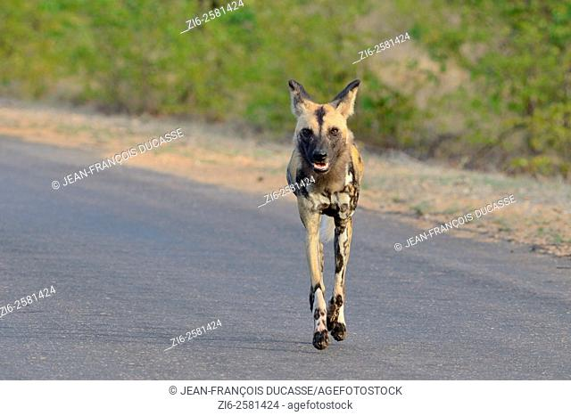 African wild dog (Lycaon pictus), running on the road, early in the morning, Kruger National Park, South Africa, Africa