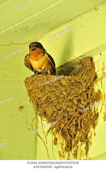 Barn Swallow (Hirundo rustica) on its nest on the verandah of an ice-cream shop, Fredriksburg, Texas, USA