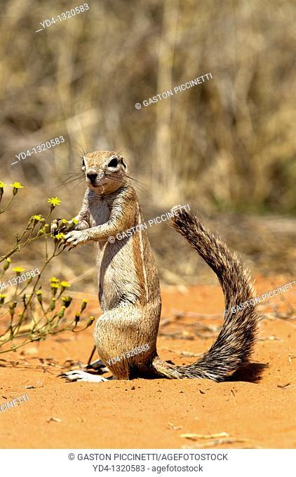 Ground Squirrel Xerus inauris, eating, Mabuasehube, Kgalagadi Transfrontier Park, Kalahari desert, Botswana