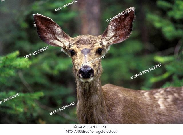 mule deer, Manning Provincial Park, British Columbia, Canada