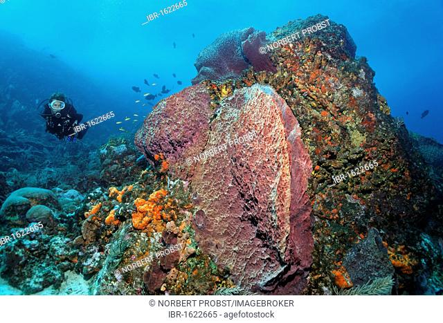 Scuba diver observing a reef formation, various colourful sponges, coral, block, Little Tobago, Speyside, Trinidad and Tobago, Lesser Antilles, Caribbean Sea