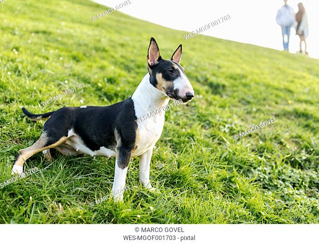 Bull terrier on a meadow