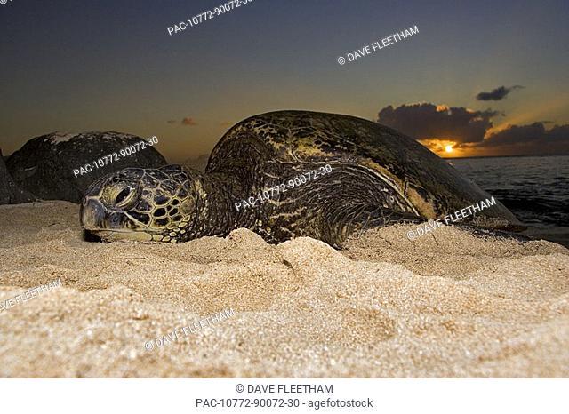 Hawaii, Oahu, Northshore, A green sea turtle Chelonia mydas on the beach at sunset