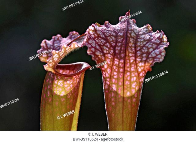 White Trumpet (Sarracenia leucophylla), detail of a funnel leaves
